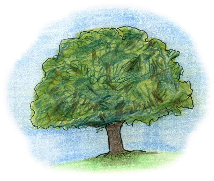 Oak tree cartoon drawing by Allan Cavanagh